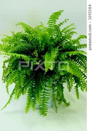 照片 植物_花 观叶植物 室内盆栽 观叶植物 常青树  pixta限定素材
