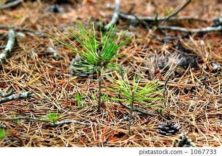 图库照片: 不成熟的树 赤松 幼苗
