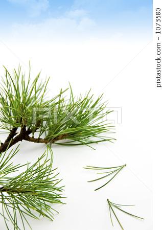 松树 日本五针松 松针