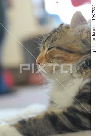 猫 胆小的 侧面图