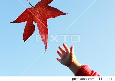 人类的手 树叶 枫叶图片