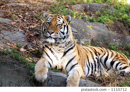 图库照片: 老虎 虎 天王寺动物园