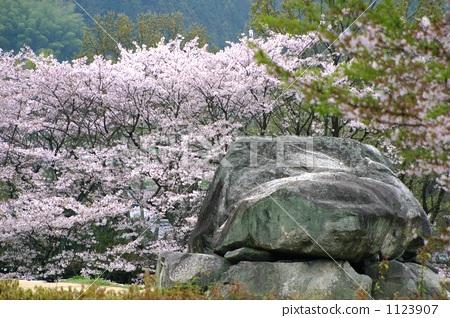 石舞台 樱桃树 岩石