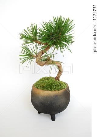 照片 植物_花 树_树木 松树 松树 盆栽 南欧黑松  *pixta限定素材仅在