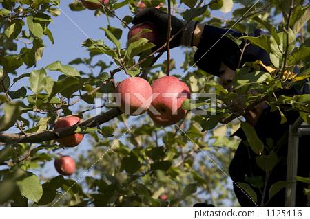 丰收 苹果树上 收获