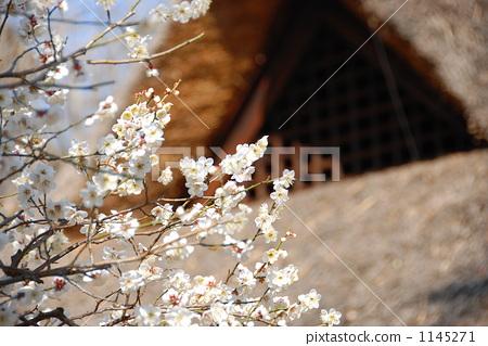 照片素材(图片): 茅草屋顶 日本杏花 一朵梅花