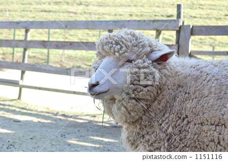 图库照片: 绵羊 白色 动物