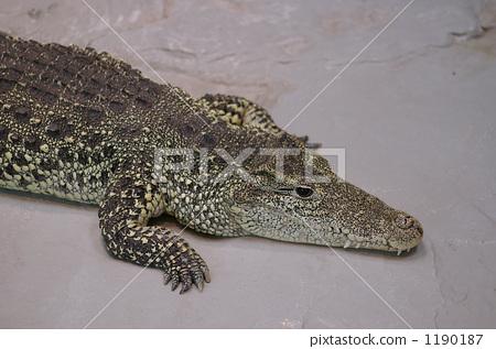 鳄鱼 前脚 爬行动物