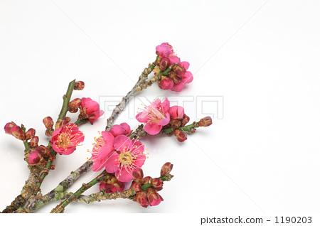 日本梅子 梅花树 春天