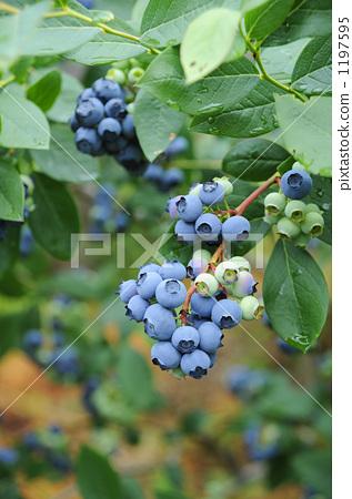 照片素材(图片): 蓝莓