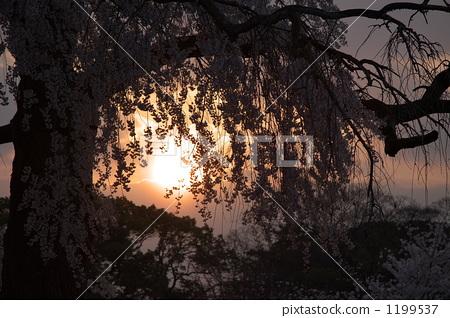 树枝低垂的樱花树 影子