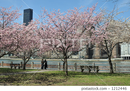 盛开 重瓣樱树 樱桃树