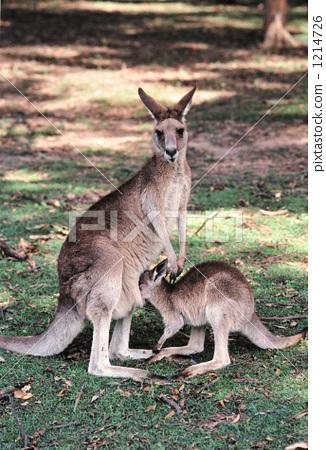 动物/鸟类 陆地动物 袋鼠 照片 袋鼠 父母和小孩 亲子 首页 照片 动物