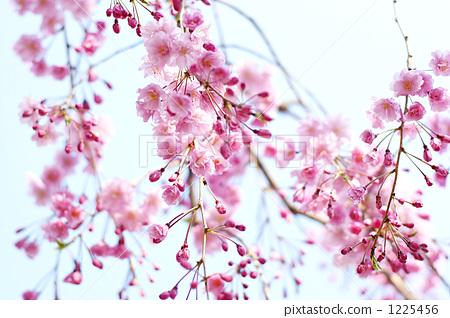 圣诞节 圣诞树 垂枝樱花 枝条下垂的樱花树 四月  *pixta限定素材仅在