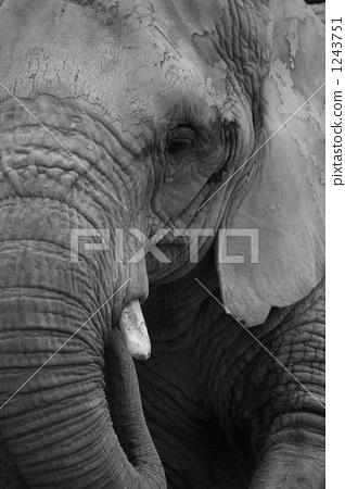 图库照片: 非洲象 东山动物园