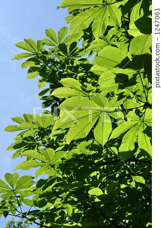七叶树 银杏叶 树叶