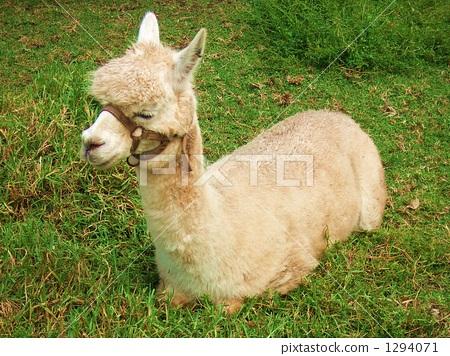 羊驼 动物宝宝 草地