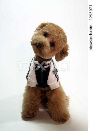 首页 照片 动物_鸟儿 狗 小狗 服装 玩具狗 贵宾犬  *pixta限定素材