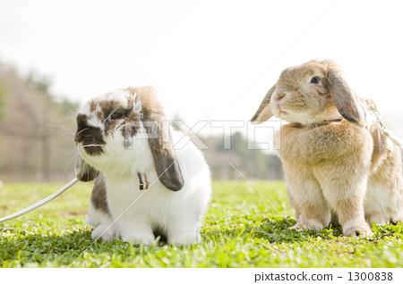 动物 动物宝宝 荷兰垂耳兔