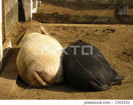 图库照片: 猪 两只动物 睡觉