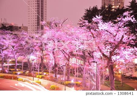 夜晚的樱花树 樱花 樱桃树