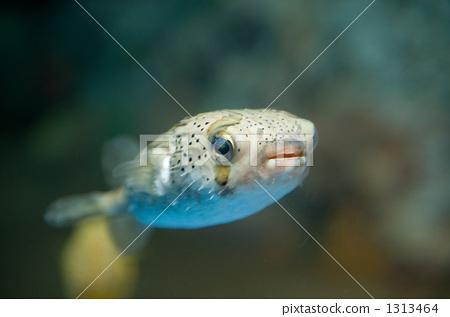 河豚 密斑刺 鱼