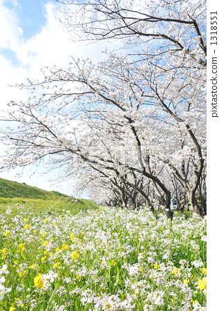 一排樱桃树 吉野樱花树 户外