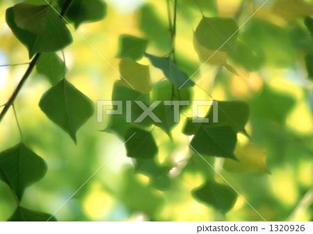 树叶 银杏叶 乌桕