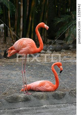 照片素材(图片): 火烈鸟