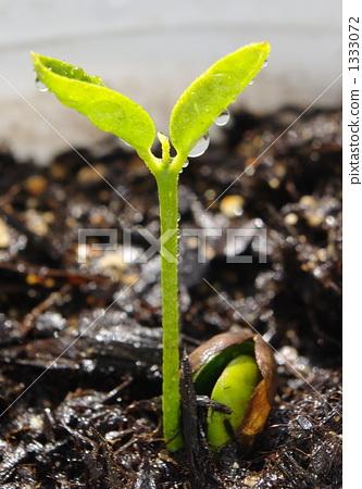 图库照片: 种子 蓓蕾 发芽