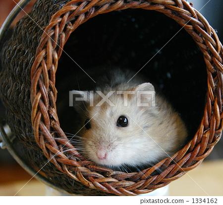 陆地哺乳动物 金丝熊 仓鼠