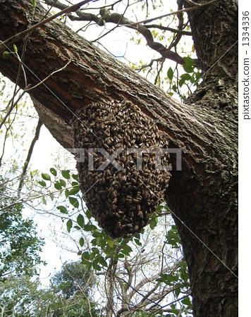 梦见蜜蜂窝_日本 蜜蜂 窝