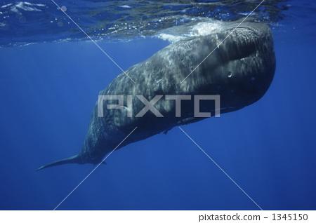 照片素材(图片): 抹香鲸 鲸鱼 头(牛的)