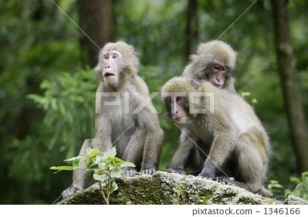 猴子 野生生物 屋久岛