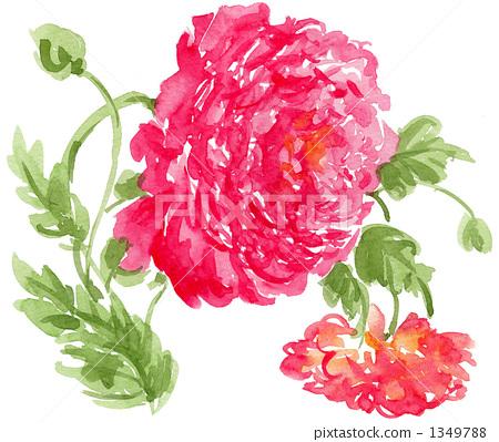 插图素材: 毛茛属植物 花朵 花
