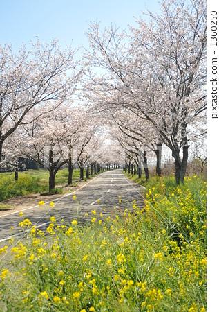 一排树 柱廊 樱桃树