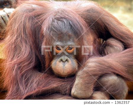 猩猩 一只动物 脸部