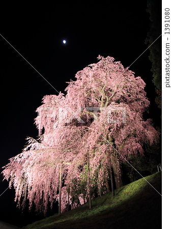 夜晚的樱花树 植物 粉色