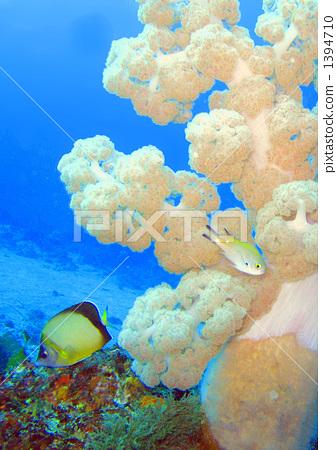 图库照片: 软珊瑚 小热带鱼 海底的图片
