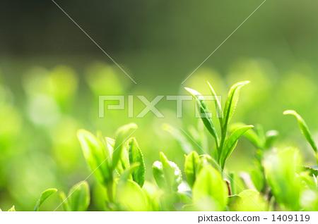 茶叶 延伸 清新-图片素材 [1409119] - pixta