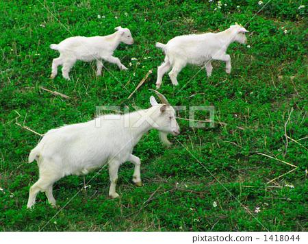 动物_鸟儿 牲畜 山羊 照片 山羊 父母身份 父母和小孩 首页 照片 动物