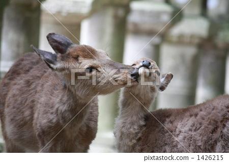 动物 父母和小孩 鹿