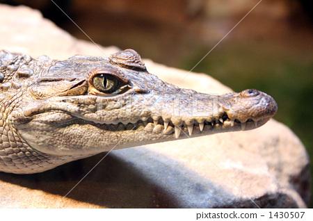 爬行动物 爬虫类的 鳄鱼