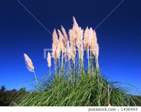 照片素材(图片): 潘帕斯草 银丝草原草 日本蒲苇