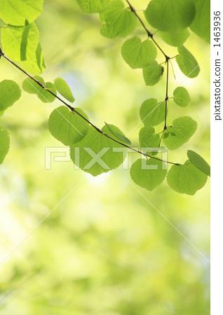 树叶 银杏叶 连香树
