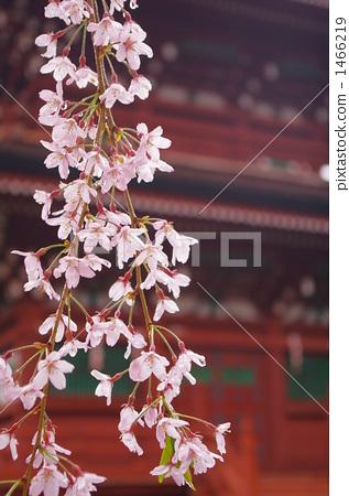 树枝低垂的樱花树 五重塔