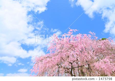 双垂柳樱花树 粉色