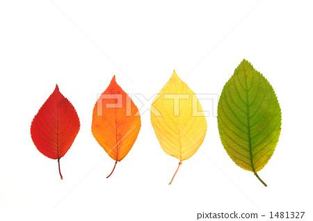 落叶 樱树叶 秋天的印象
