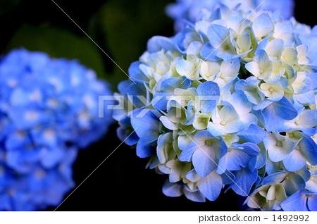 绣球花 蓝色 雨季
