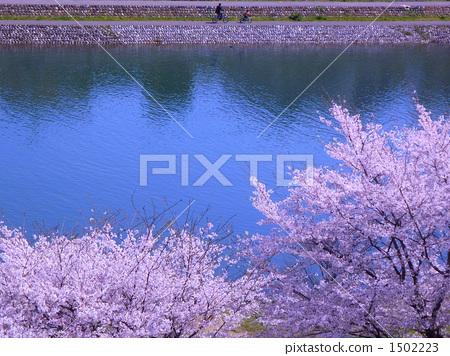 才川 吉野樱花树 河面
